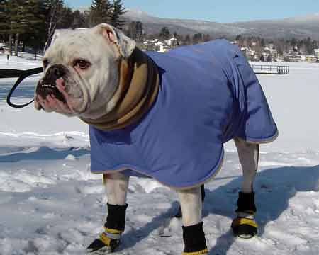 english bulldog winter coat