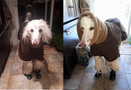 520626054738f Photos: Whippet Coats, Greyhound Coats & more   Blue Willow Dog Coats