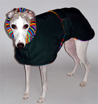 Greyhound George enjoying his coat