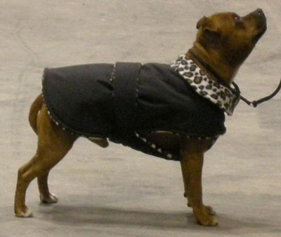 Knitting Pattern For Staffie Dog Coat : Photos: Whippet Coats, Greyhound Coats & more Blue ...