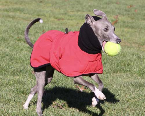 red raincoat - italian greyhound