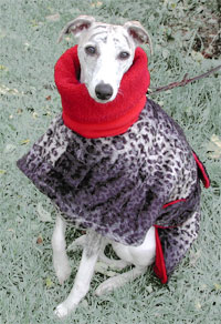 Whippet in a warm dog coat